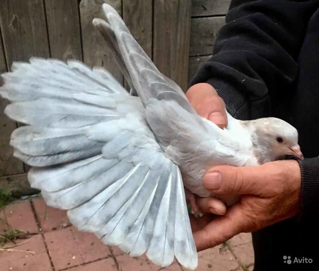 Выдающиеся украинские Николаевские голуби
