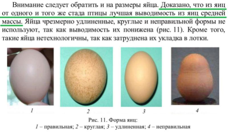 Почему куры несут мелкие яйца и что с этим делать? Причины, лечение, профилактика, препараты