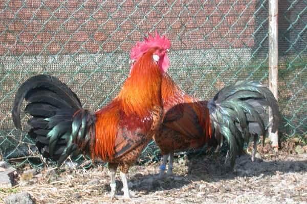Романьола порода кур – описание с фото и видео