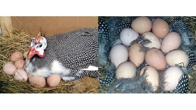 Когда цесарки начинают нести яйца и какой нормальный режим инкубации