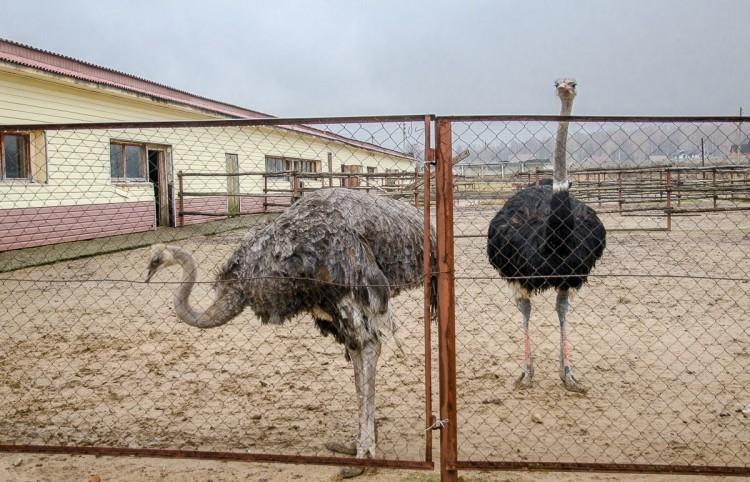 Виды страусов, пригодных для разведения на фермах, особенности, строение