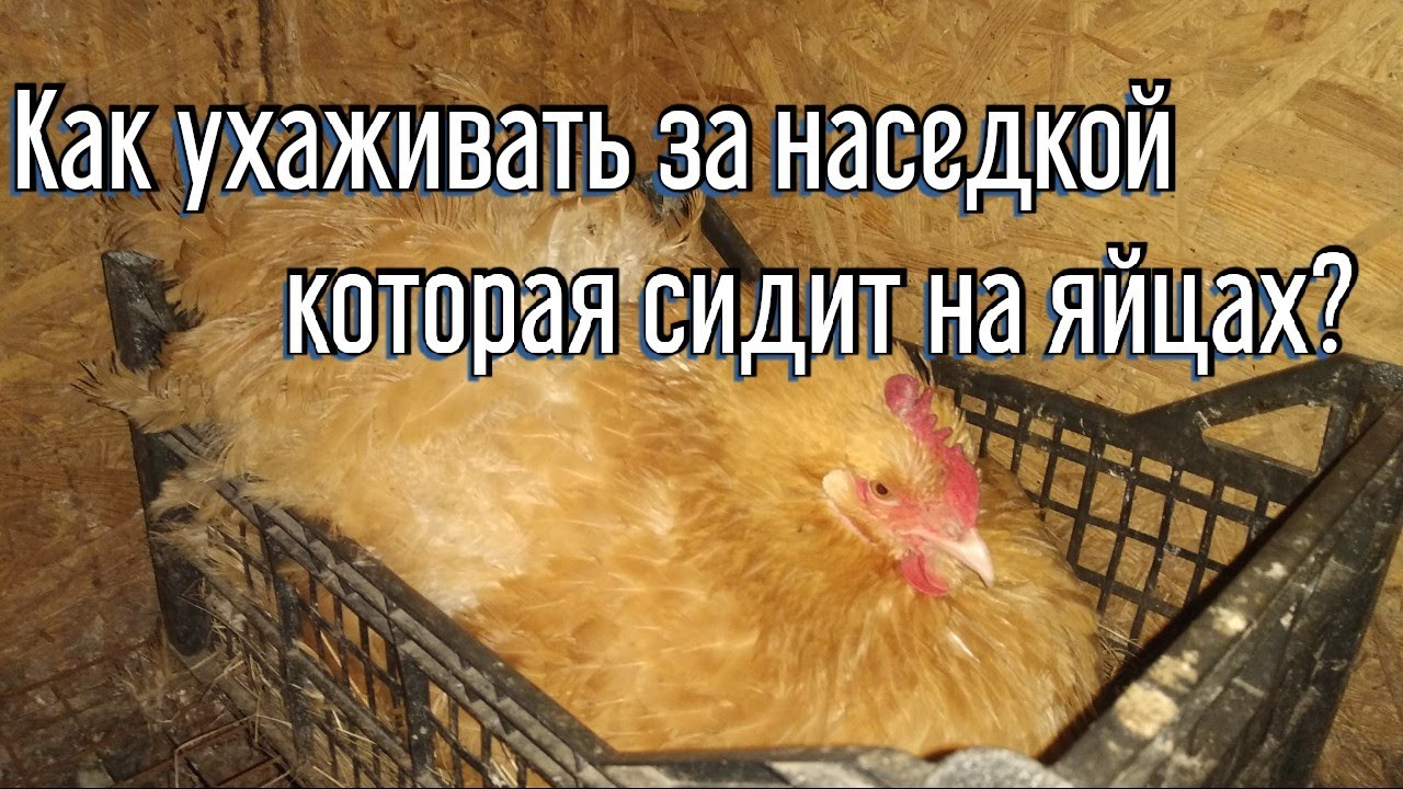 Как ухаживать за наседкой, которая сидит на яйцах