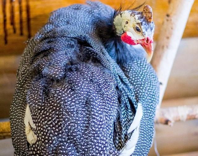 Грифовая цесарка – фото, особенности содержания на приусадебном участке