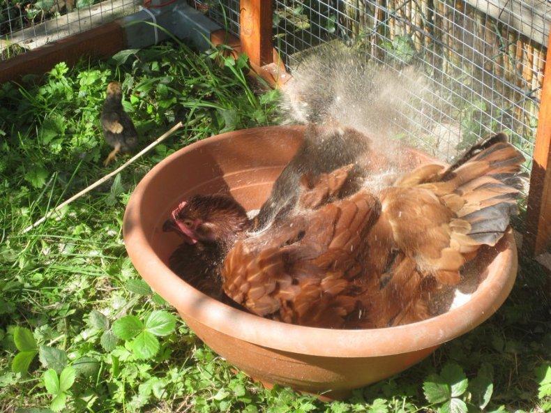 Белки крутятся около курятника и воруют корм