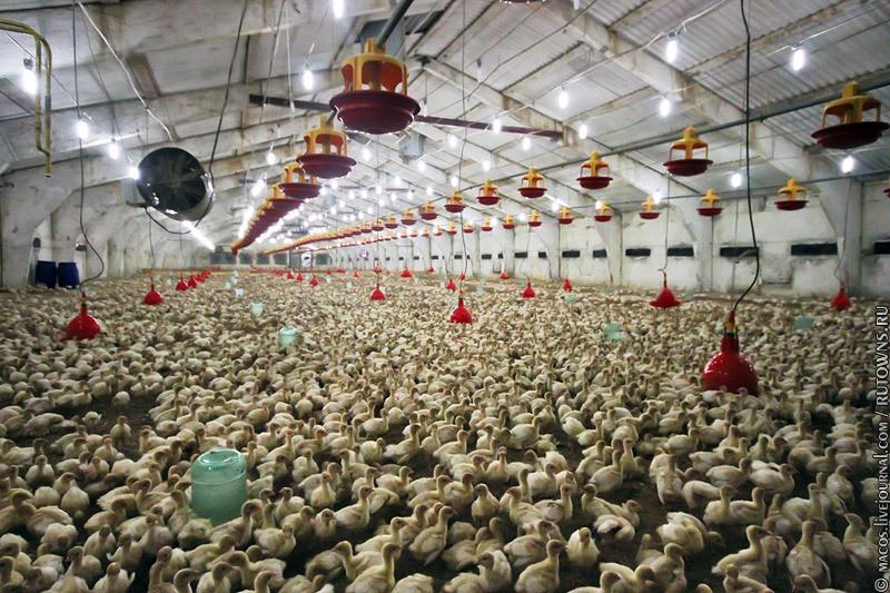 Разведение индюков и продажа индюшиного мяса, как бизнес – что выгодно, а что нет