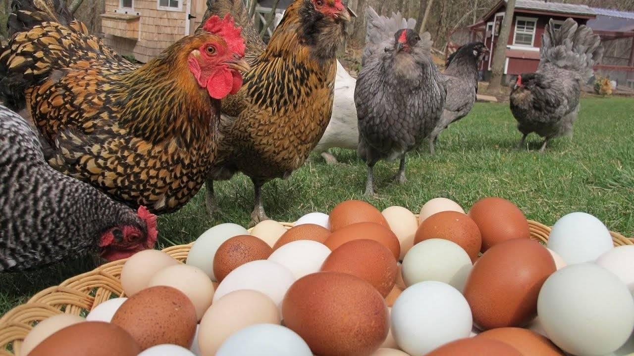 Куры для дачи лучшие породы — красивые и яйценоские
