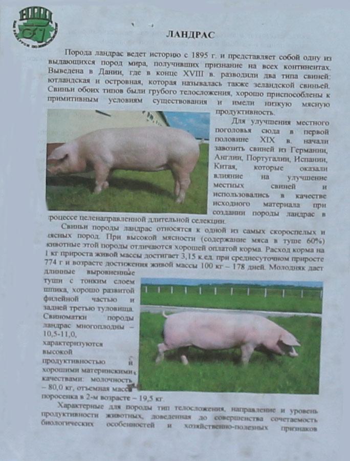 Исландский Ландрас порода кур – описание с фото