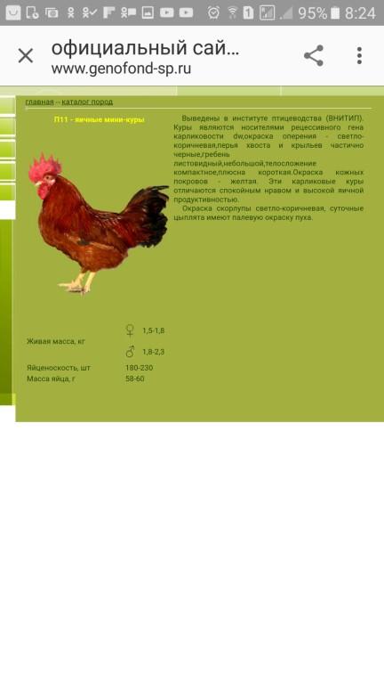 Куры Шейвер - яичный кросс. Описание, характеристики, правила содержания и кормления