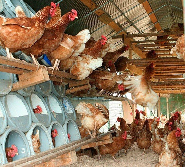 Содержание кур в домашних условиях