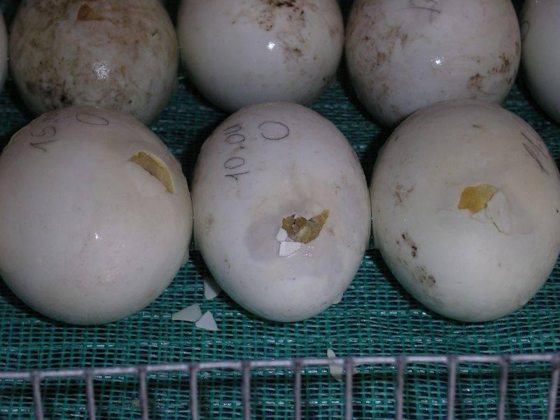 Сколько яиц можно подложить под индоутку?
