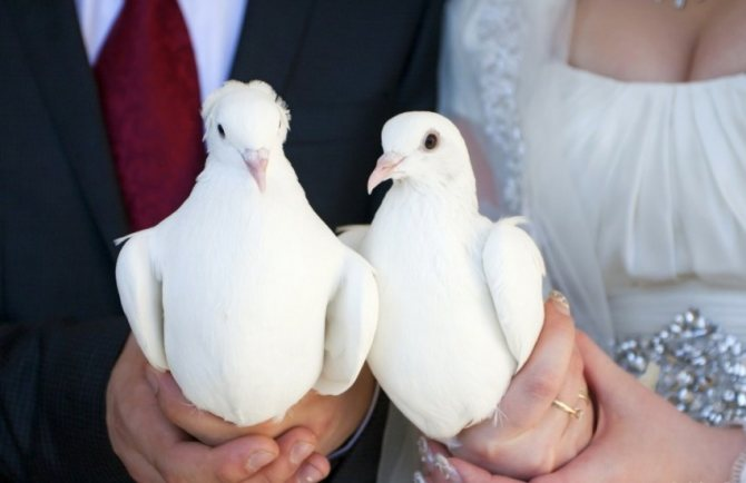 Крупные породы домашних и диких голубей, их происхождение и особенности