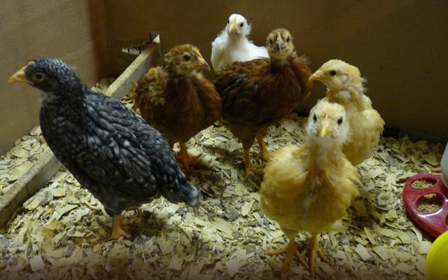 Цыплятам 1 месяц, чем кормить и как ухаживать