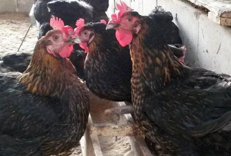 Супер Харко порода кур – описание, фото и видео