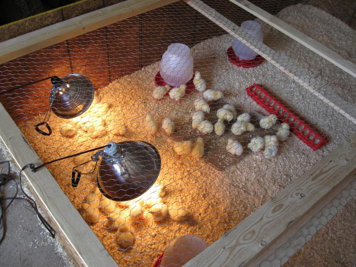 Выращивание цыплят в квартире для начинающих