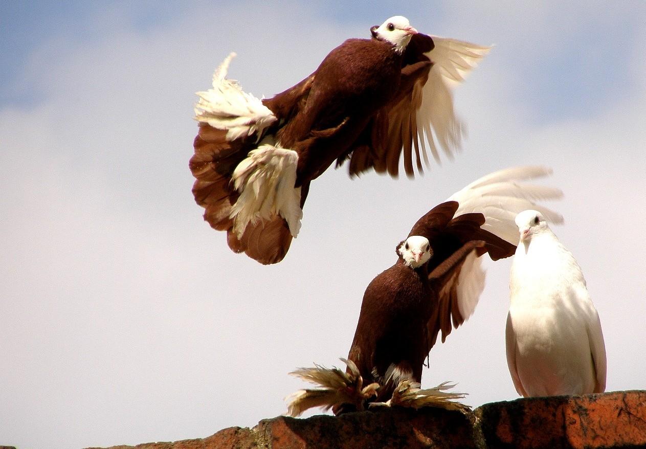 Голуби турманы: почему этих голубей могут разводить лишь опытные специалисты