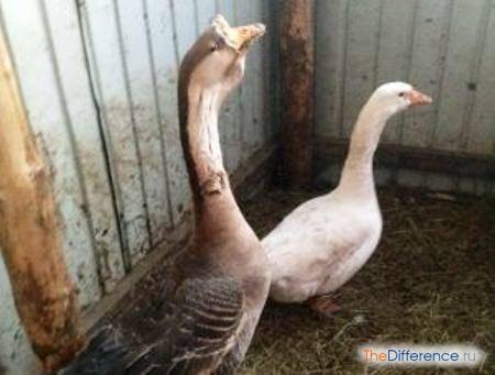 Как отличить гусака от гусыни у взрослой птицы