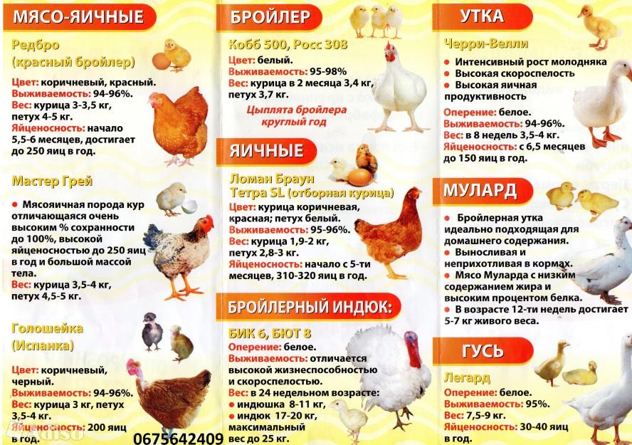 Что лучше – муларды или индоутки, характеристики яиц и мяса