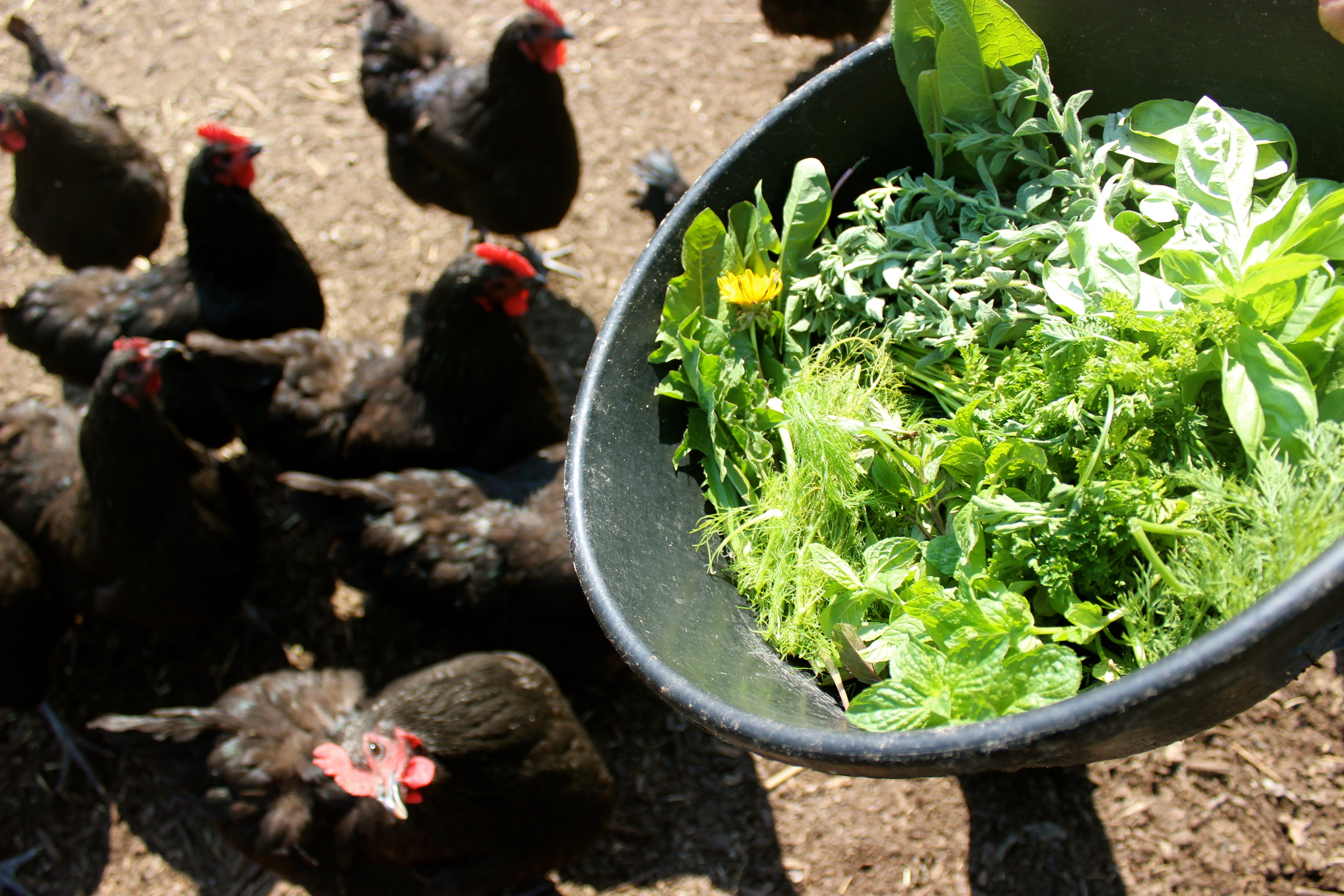 Портулак огородный курам и цыплятам