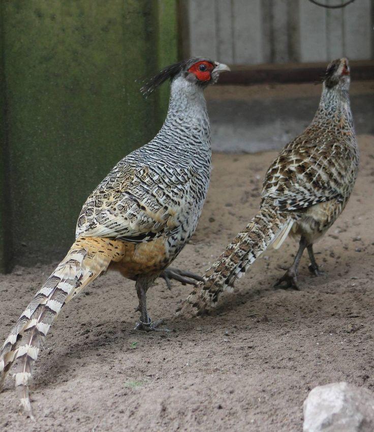 Серебряный фазан – описание взрослых птиц и птенцов, особенности разведения в неволе