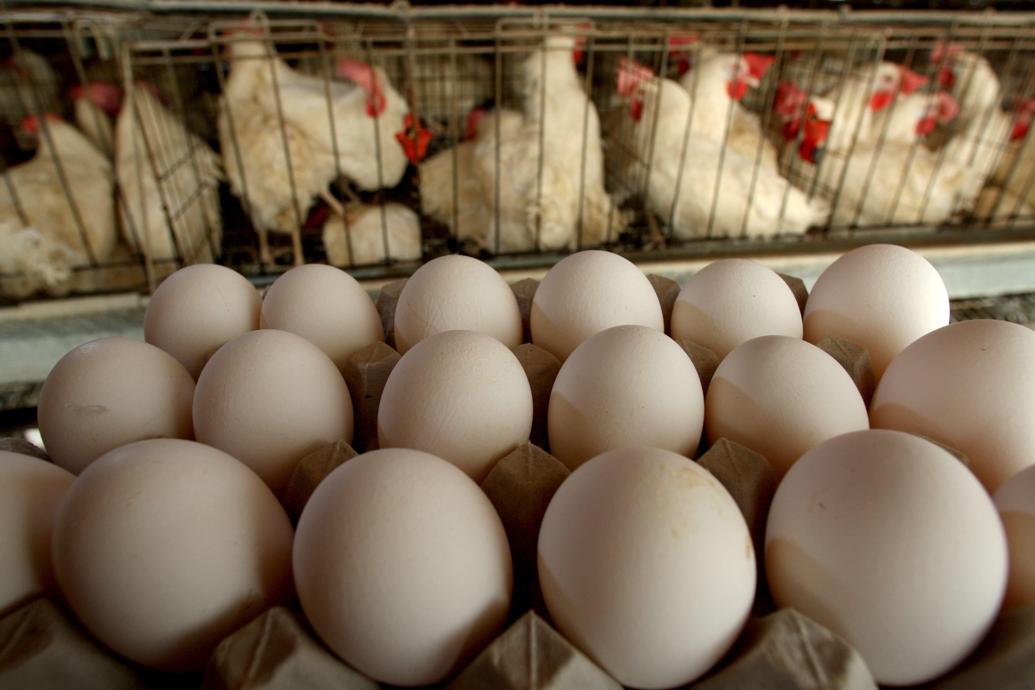 Несутся ли бройлерные куры? Рейтинг популярных кроссов и возраст начала яйцекладки