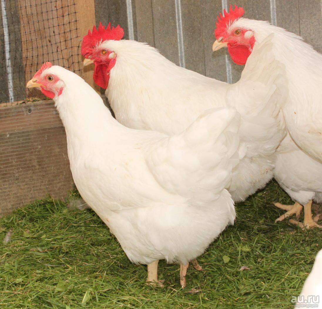 Лучшие мясо яичные породы кур – описание, фото и видео