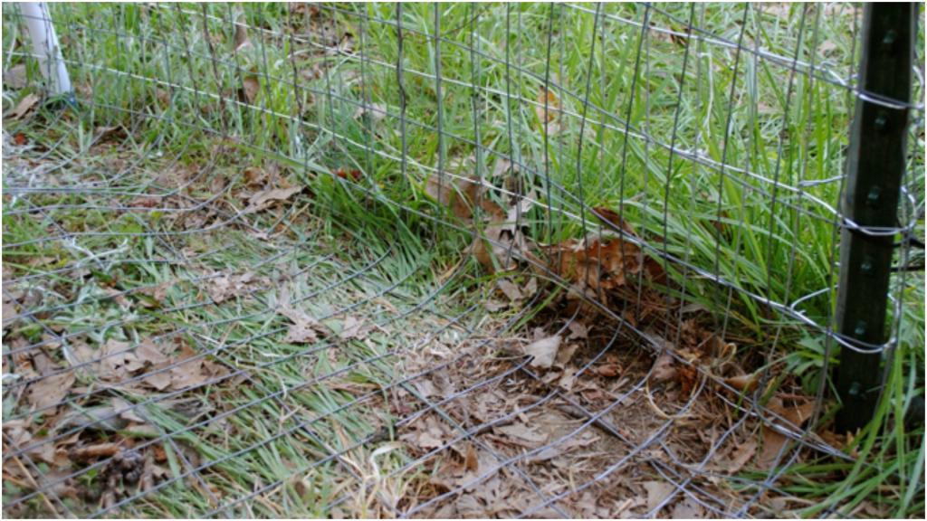 Как избавиться от лисы, которая ворует кур: как защитить птиц и отвадить хищника?