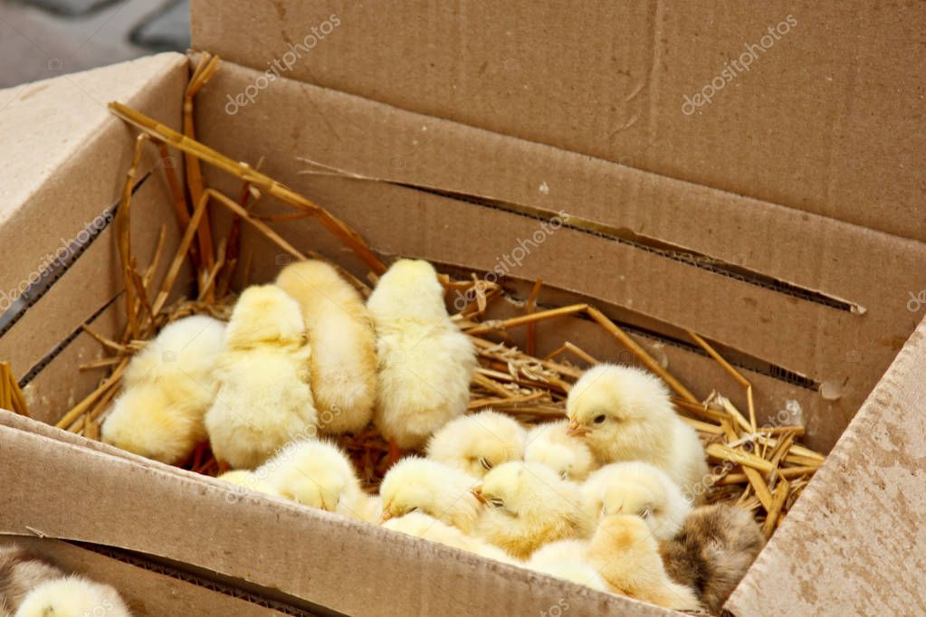 Цыплята в картонной коробке — обустройство