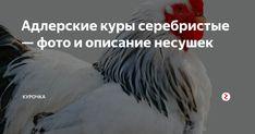 Адлерская серебристая порода кур – мои отзывы о содержании породы