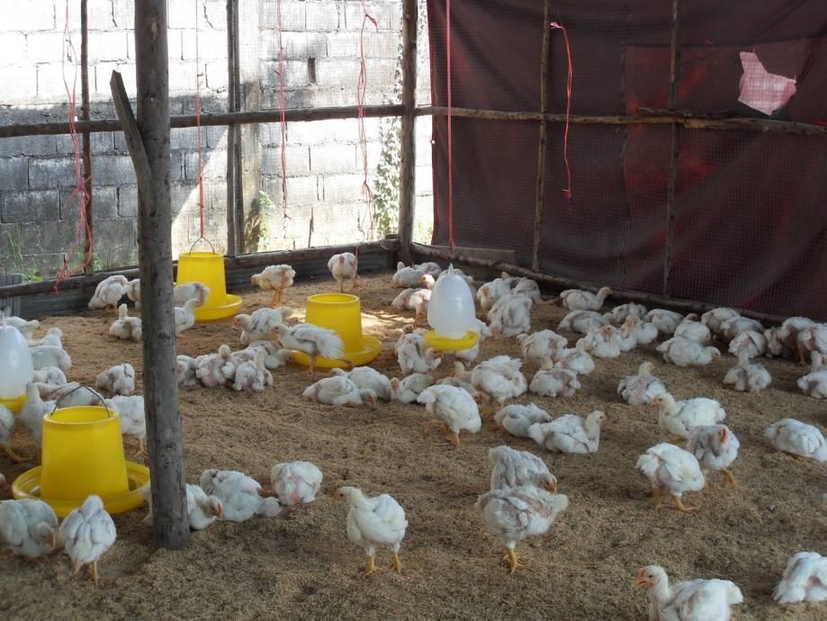 Кормление бройлерных цыплят