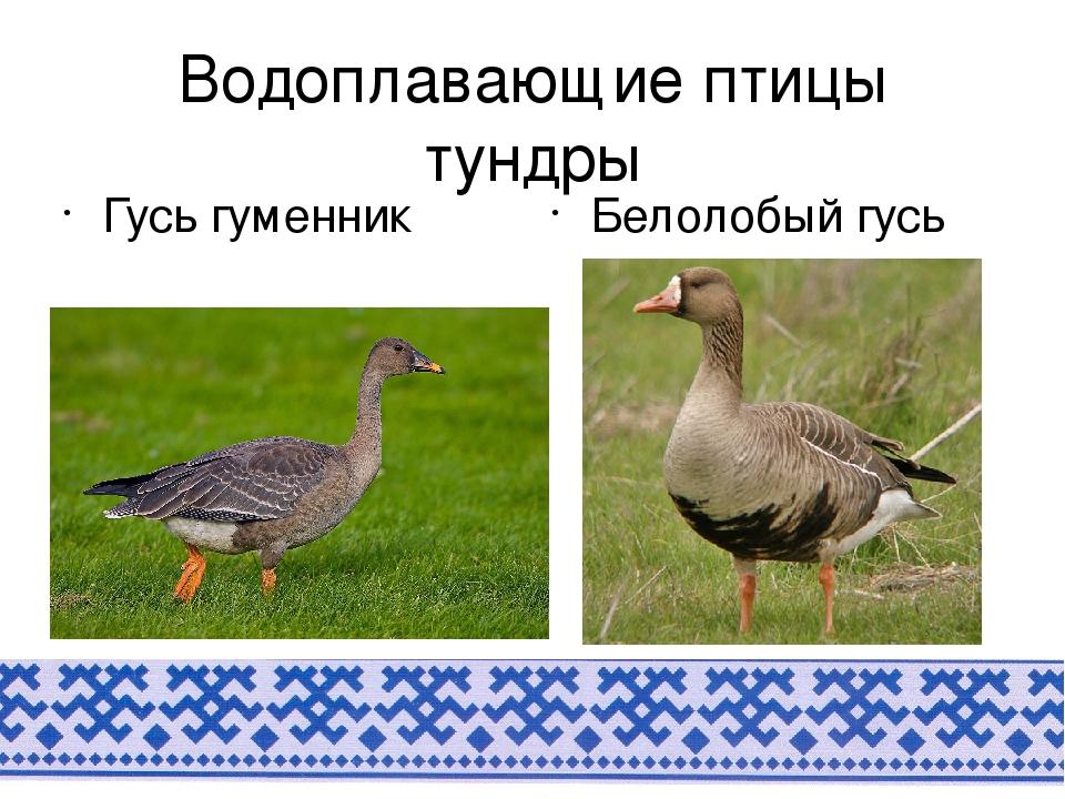 Описание и особенности трофейного охотничьего гуся гуменника