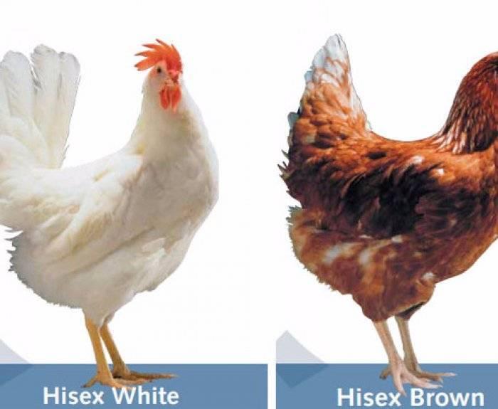 Куры Хайсекс Браун — описание породы с фото и видео