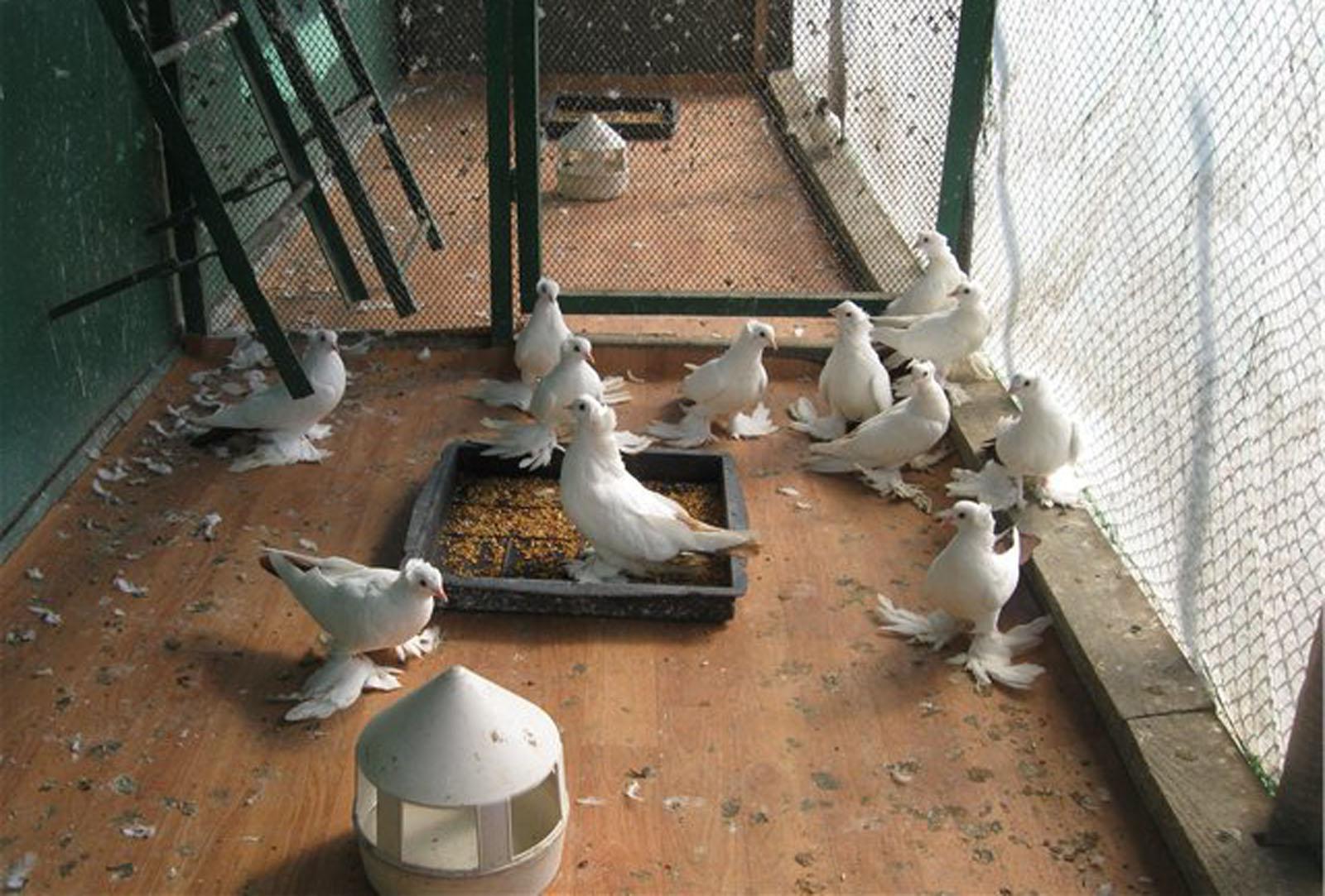 Содержание голубей: как обустроить и кормить, можно ли держать в квартире
