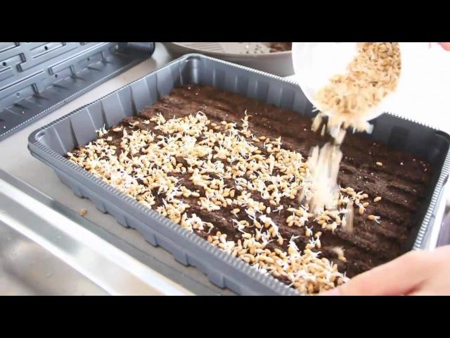 Как проращивать зерно для кур зимой своими руками