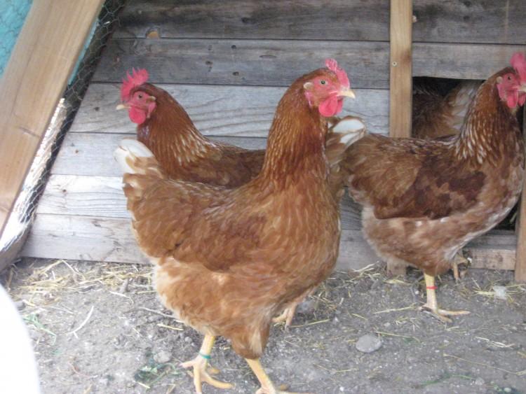 Уникальность кур и чем они отличились в мире птицеводства