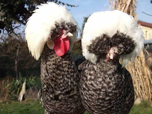 Голландская белохохлая - декоративная порода кур. Описание, содержание, выращивание и уход, кормление