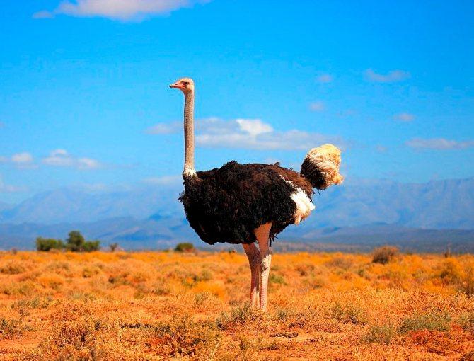 Обыкновенный страус: описание и характеристика вида
