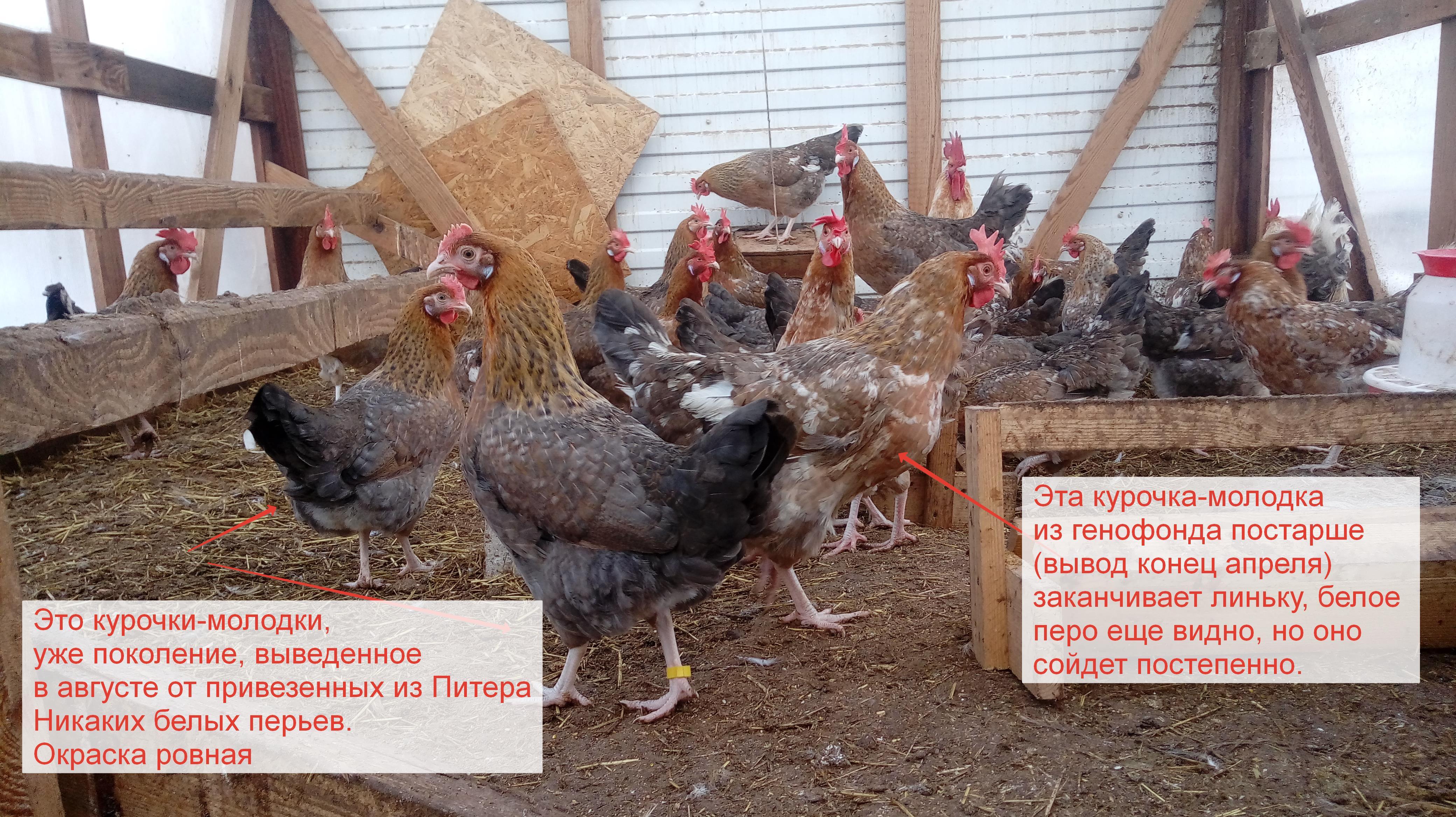 Ленинградские куры фото и описание золотисто-серых