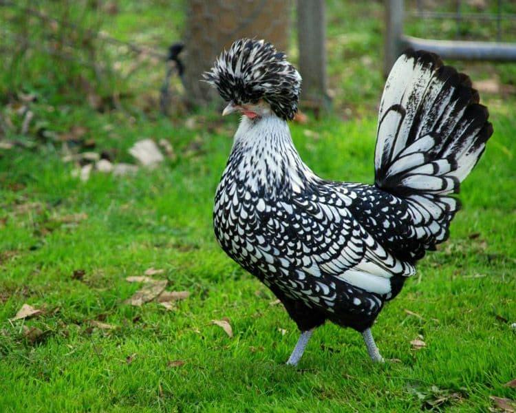 Сибрайт - декоративная порода кур. Описание, характеристики, особенности содержания, кормление и инкубация