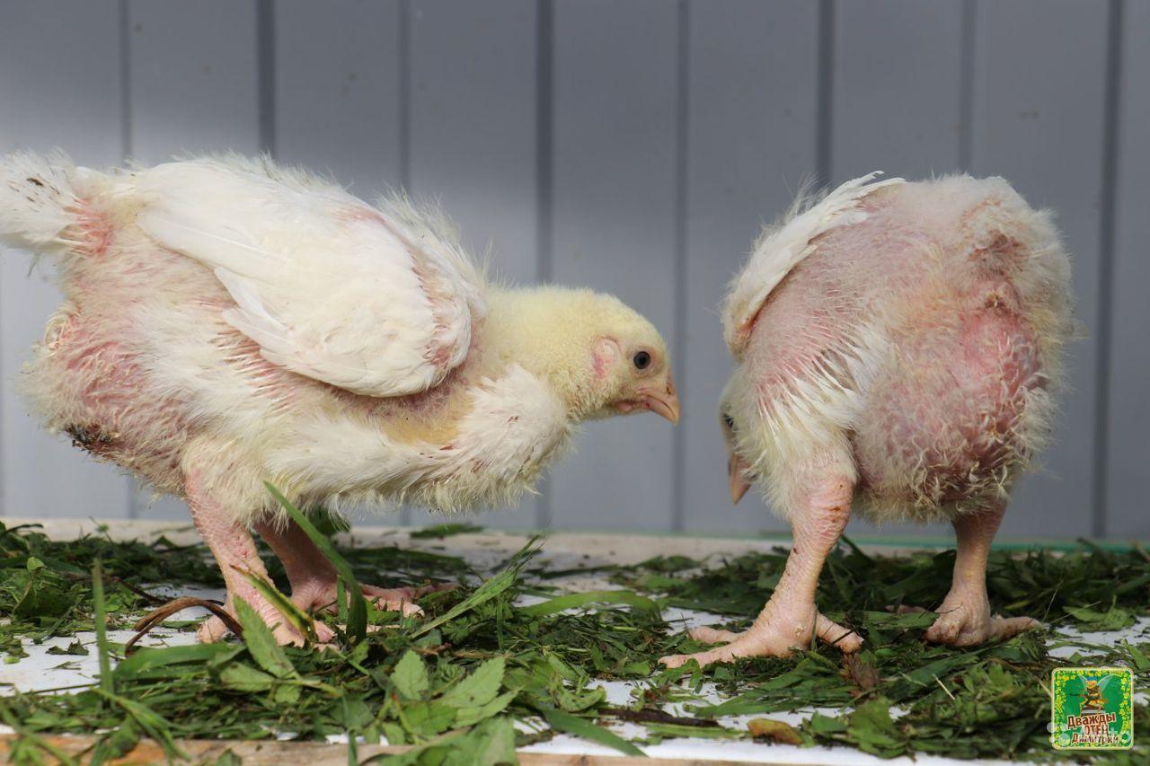 Бройлерные цыплята и куры для домашнего разведения