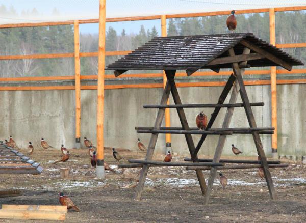 Разведение и содержание фазанов в домашних условиях для начинающих