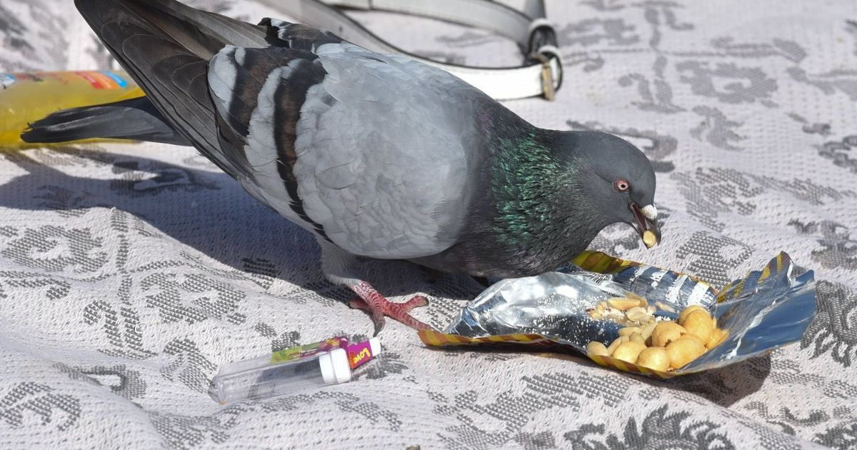Профилактика и лечение вертячки голубей