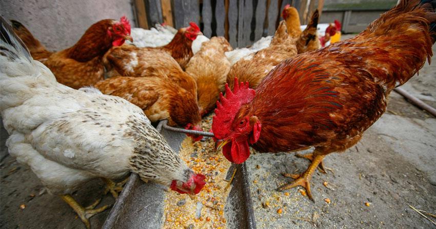 Почему сою в рационе кур и животных надо заменить люпином?