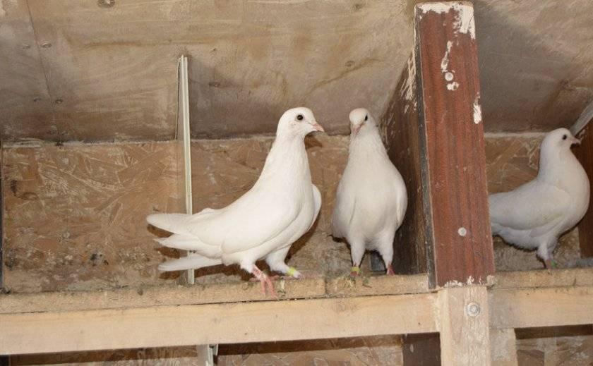 Разведение голубей: особенности для начинающих голубеводов