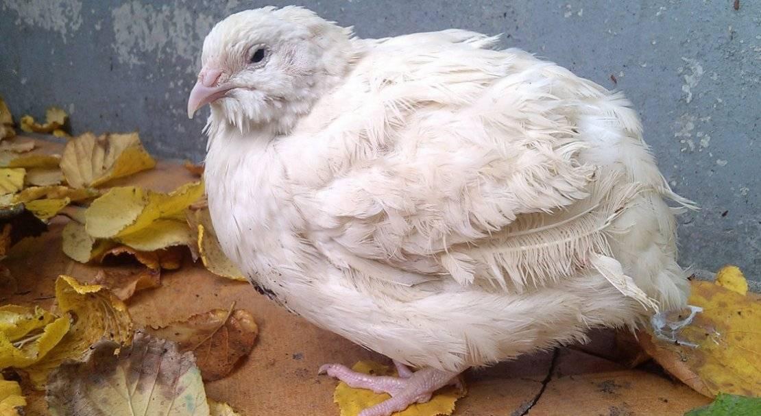 Особенности перепелов-альбиносов Техасских белых