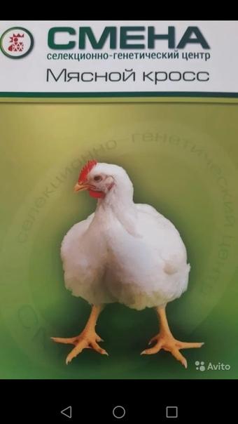 Бройлер Смена - мясо-яичный кросс. Описание, характеристики, выращивание, кормление и инкубация