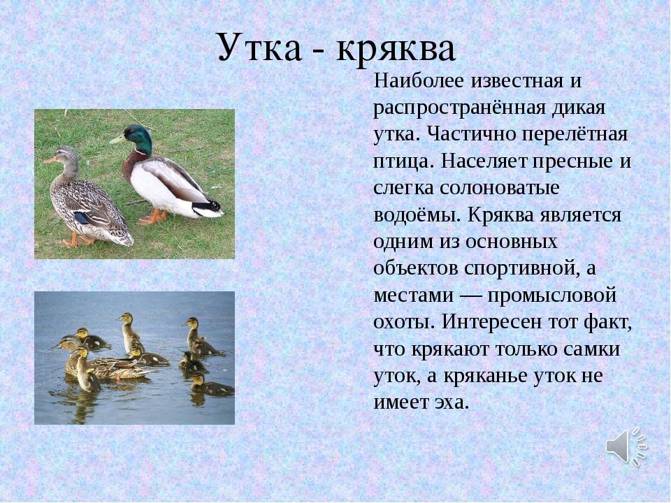Характеристика распространенной дикой утки кряквы