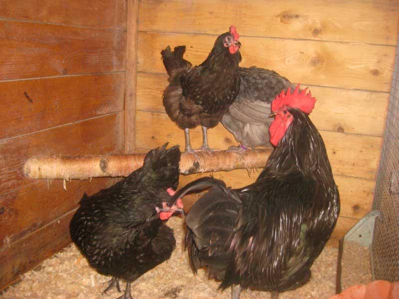 Лучшие мясные породы кур для домашнего разведения