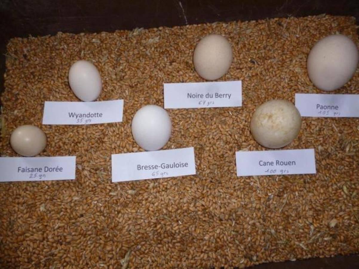 Кубанские гуси – описание породы, характеристики яичной и мясной продуктивности