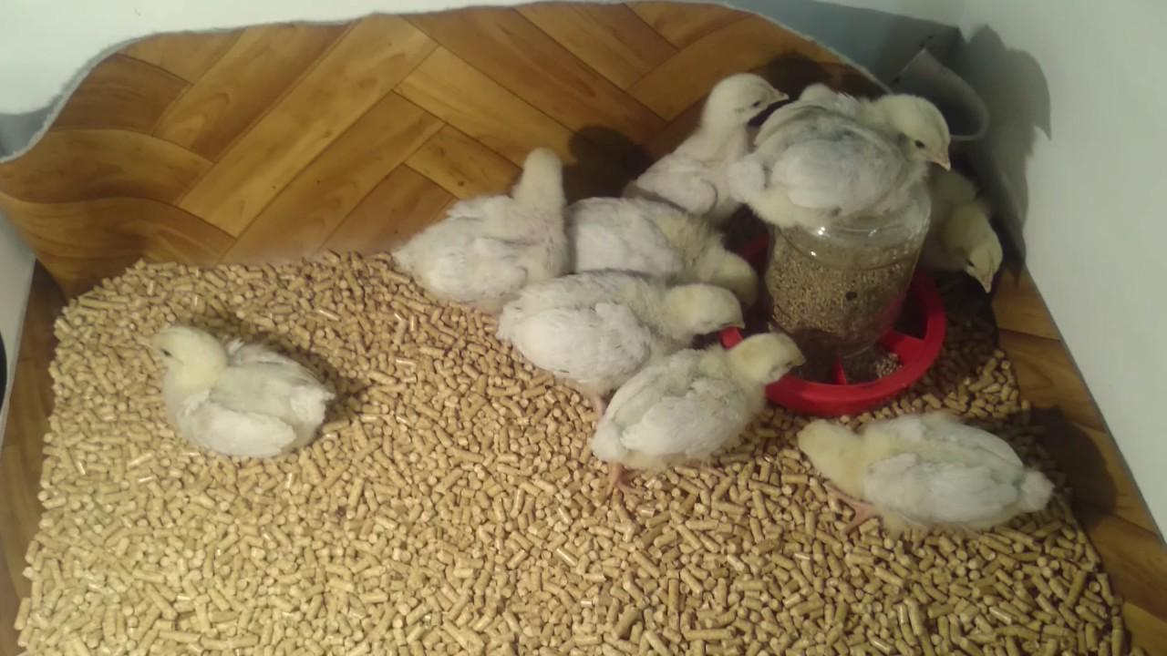 Почему цыплята клюют подстилку и можно ли стелить опилки, солому, газеты, торф, песок?