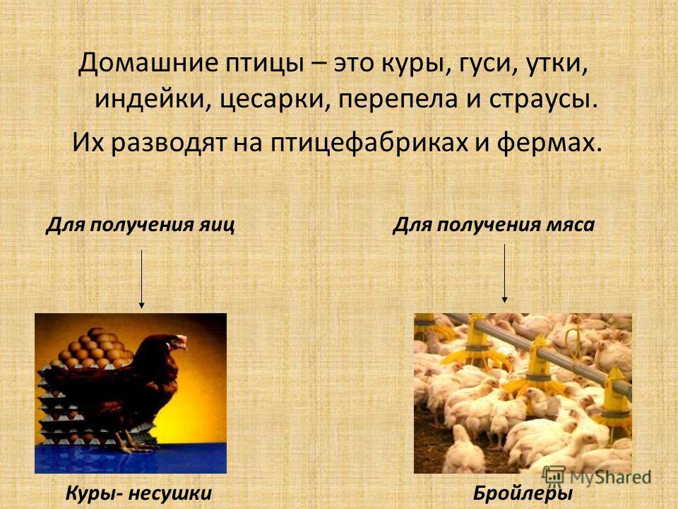 Чем отличается курица от цесарки по продуктивным свойствам и содержанию